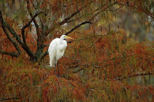 Egret In Autumn Poster