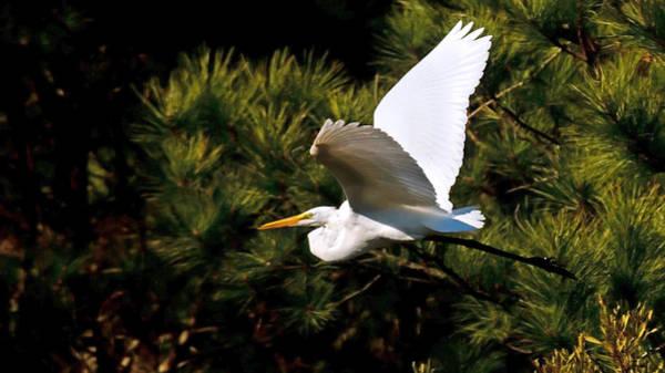 Egret In Flight 1 Poster