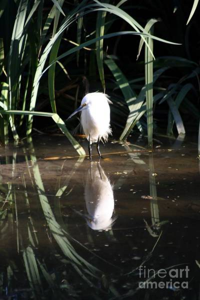 Egret In Reed Poster