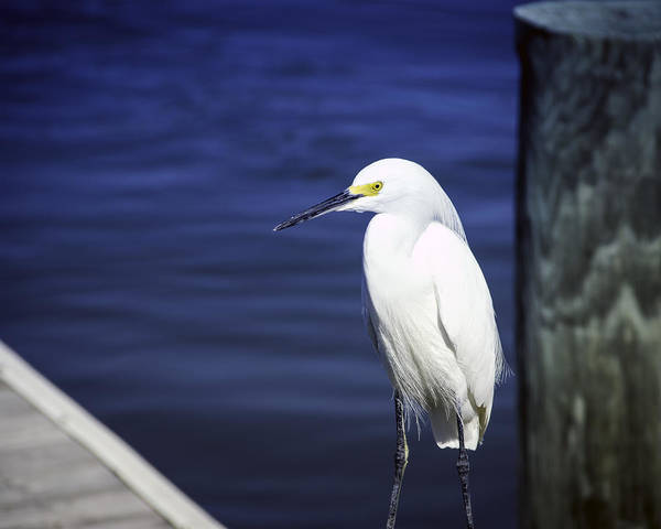 Poster featuring the photograph Egret Standing Tall by William Havle