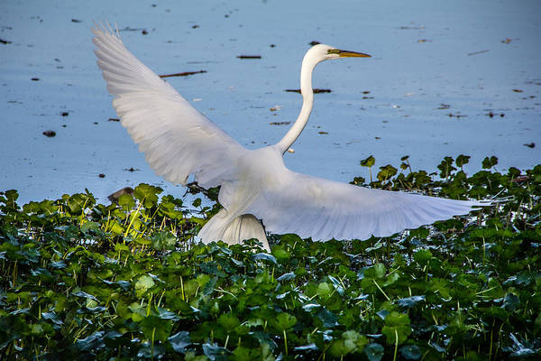 Egret With Wings Spread Poster