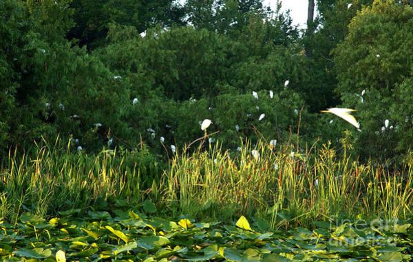 Egrets Nesting Poster