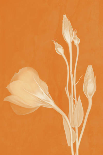 Elegance In Apricot Poster