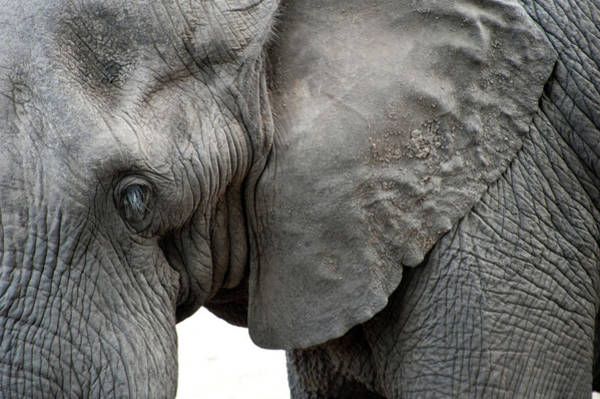 Elephant 2 Poster