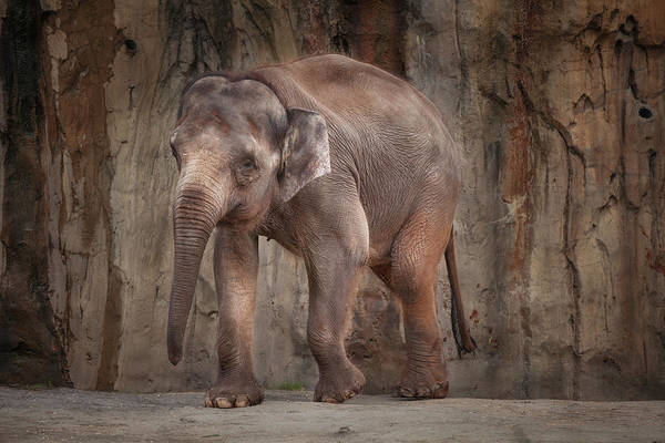 Poster featuring the photograph Elephant by Jacqui Boonstra