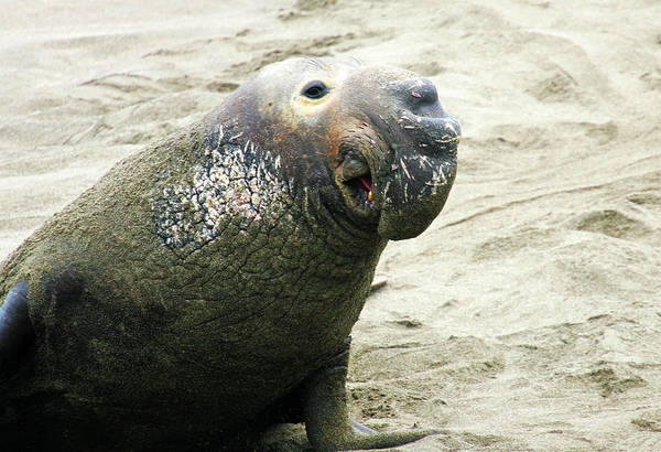 Elephant Seal Poster