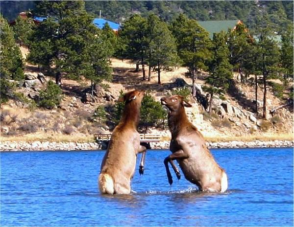 Elk In Lake Estes Poster