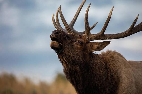 Elk's Screem Poster