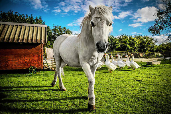 Poster featuring the photograph English Gypsy Horse by Jennifer Wright