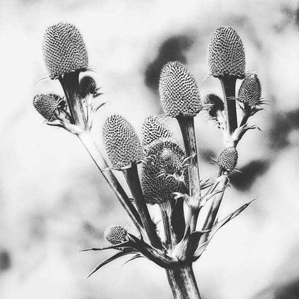 Eryngium #flower #flowers Poster