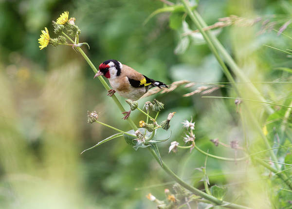 European Goldfinch Perched On Flower Stem B Poster