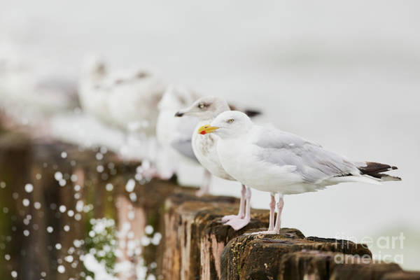 European Herring Gulls In A Row  Poster