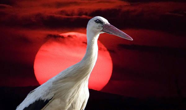 Evening Stork  Poster