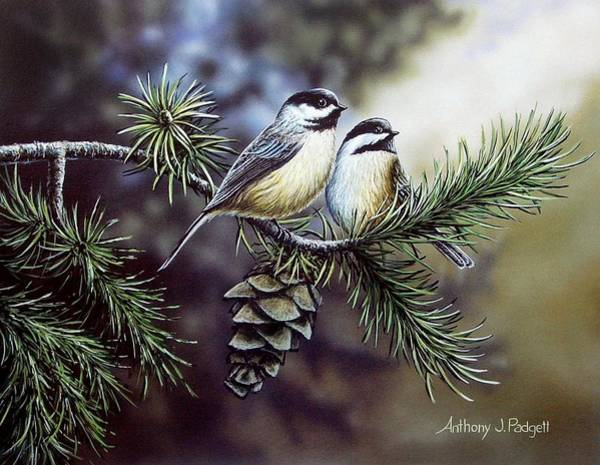Evergreen Chickadees Poster