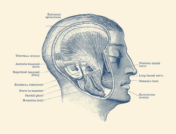 Face Muscular Diagram - Vintage Anatomy Print Poster