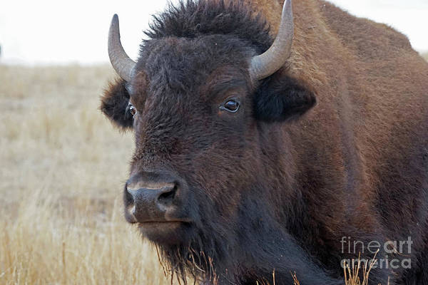 Poster featuring the photograph Face Of A Bison by Bill Gabbert