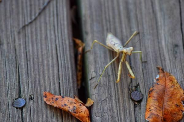 Fall Mantis  Poster