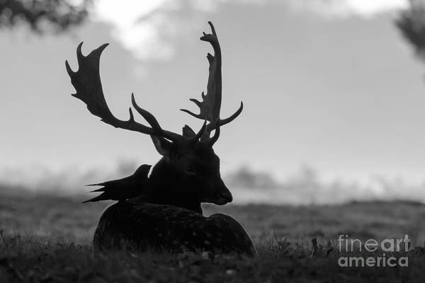 Fallow Deer With Friend - Black And White Poster