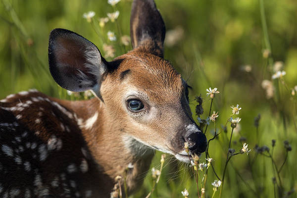 Fawn In Wildflowers Poster