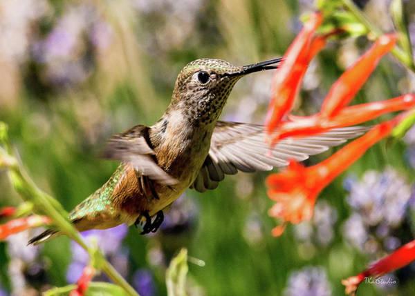 Female Broadtail Humingbird Poster