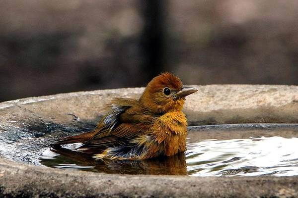 Female Summer Tanager In Bird Bath Poster