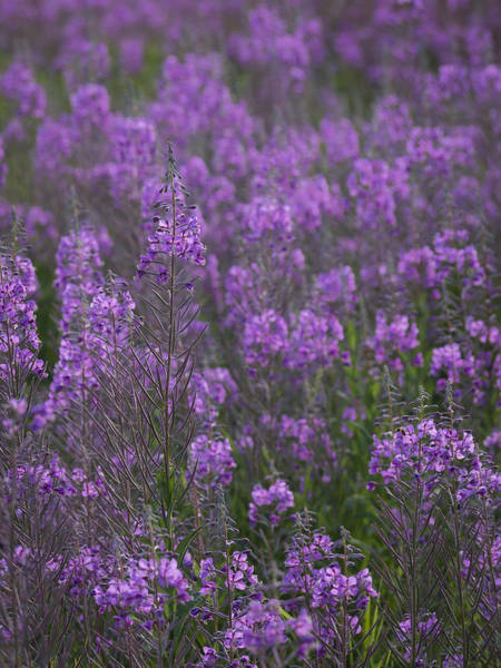 Field Of Fireweed Poster