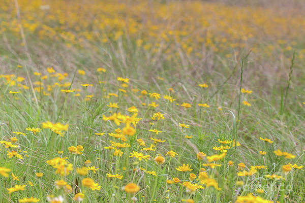 Field Of Yellow Flowers In A Sunny Spring Day Poster