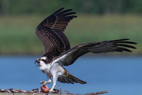 Fish For The Osprey Poster