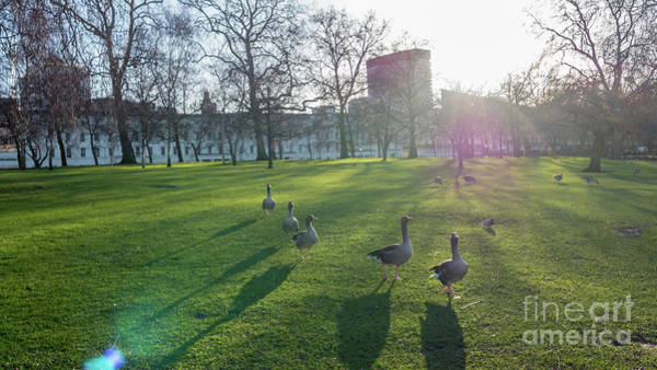 Five Ducks Walking In Line At Sunset With London Museum In The B Poster