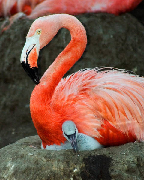 Flamingo And Baby Poster