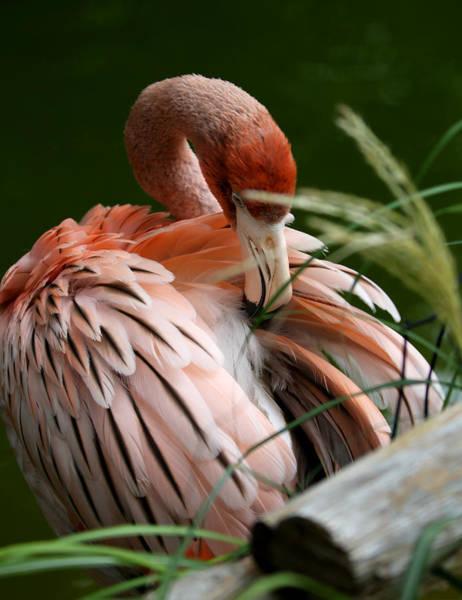 Flamingo Boudoir Poster