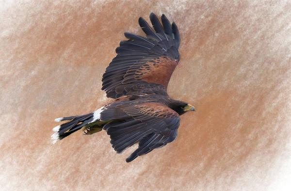 Flight Of The Harris Hawk Poster