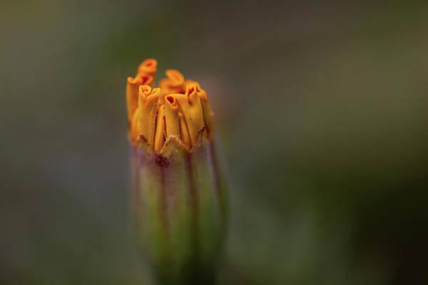 Flower Bud Poster