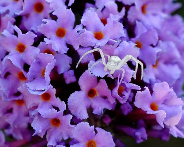 Flower Spider Poster