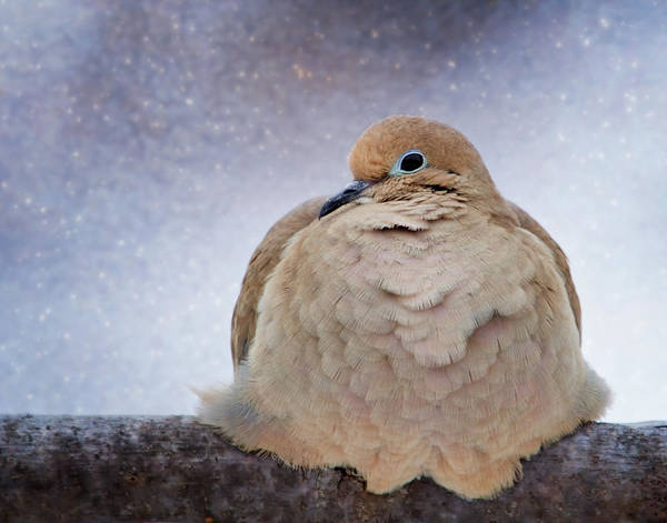 Fluffy Mourning Dove Poster