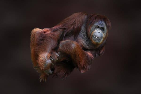 Folded Orangutan Poster