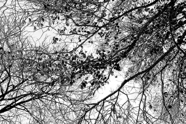 Forest Canopy Bw Poster
