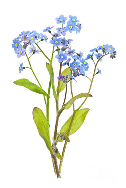 Forget-me-not Flowers On White Poster