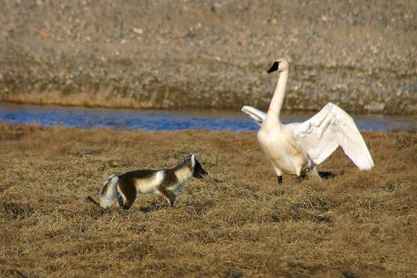 Fox Vs Tundra Swan Poster