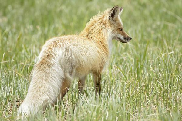 Foxy Lady Poster