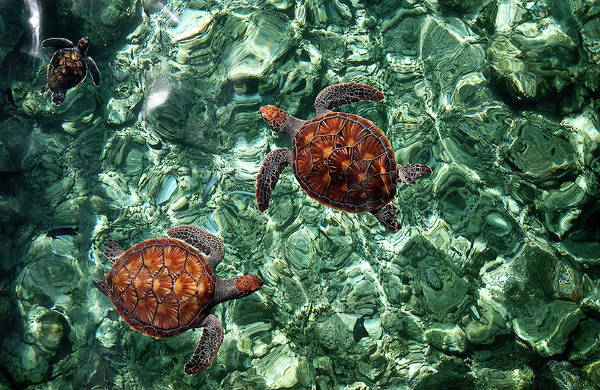 Fragile Underwater World. Sea Turtles In A Crystal Water. Maldives Poster