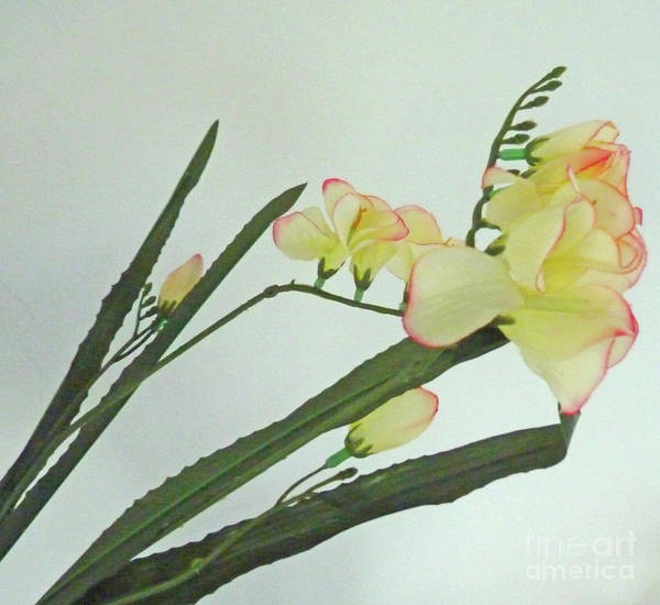 Freesia Blossoms In Pastel Colors Poster