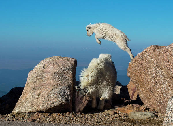 Leaping Baby Mountain Goat Poster