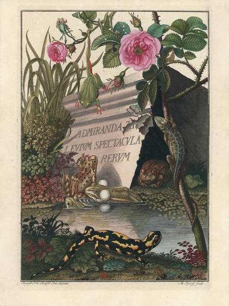 Poster featuring the drawing Frontis Of Historia Naturalis Ranarum Nostratium by August Johann Roesel von Rosenhof