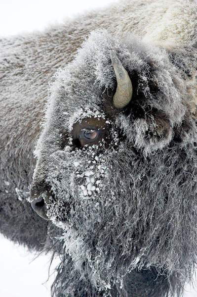 Frosty Bison Poster
