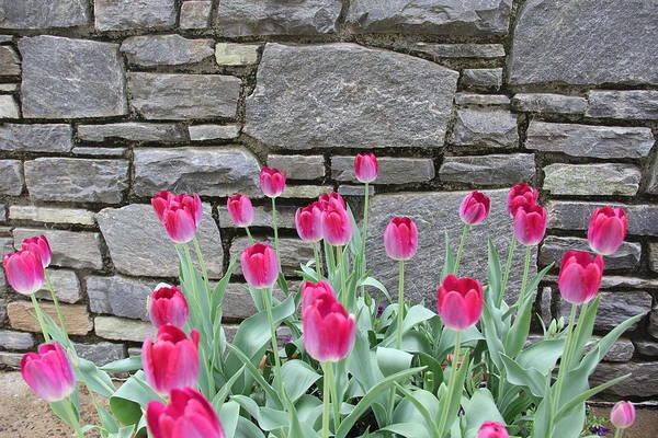 Fuchsia Color Tulips Poster
