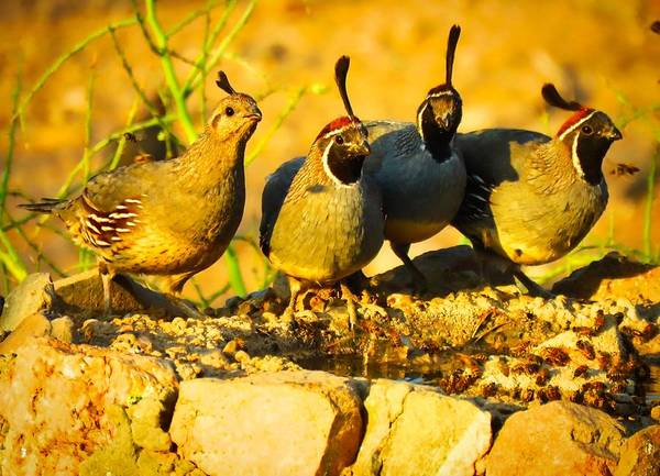 Gambel's Quail Foursome Poster