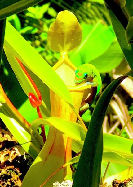 Gecko On Mosquito Catcher Orchid Poster