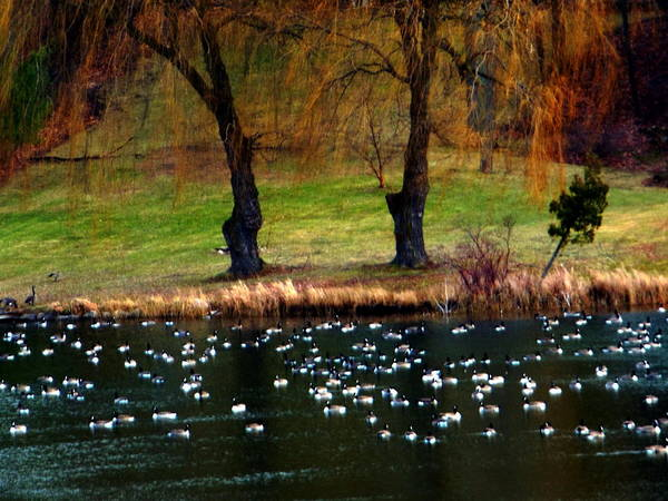 Geese Weeping Willows Poster