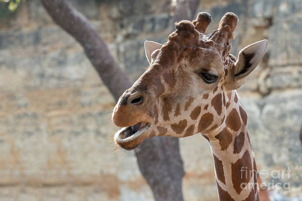Girafe Head About To Grab Food Poster